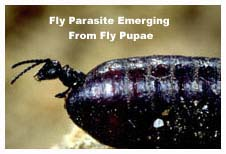 Fly Parasite Emerging From A Fly Pupae