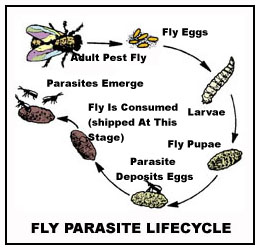 Fly Parasite Lifecycle