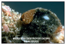 Mealybug Destroyer Eating Mealybugs