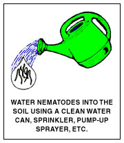 Water Nematodes Into The Soil Using A Clean Watering Can